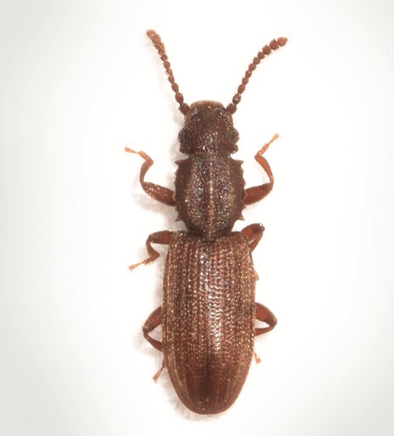 Sawtooth Grain Beetle | Prevent Pantry Bugs - Thomas Pest Control Charlotte