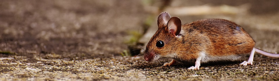Field Mouse or Mice